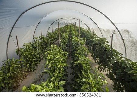 Bell pepper plantation in greenhouse