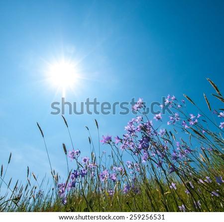 bellflower - stock photo