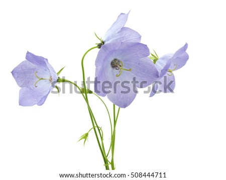 Bellflowers (Campanula Rotundifolia) on white