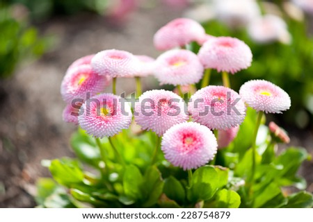 Bellis perennis pomponette called daisy bloom. Blooming seedlings bunch with bright green leaves and pink flowerheads grow in garden in Poland. Horizontal orientation, nobody. - stock photo