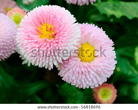 Bellis perennis. Two blooming rose daisy flowers on the green soft background. - stock photo
