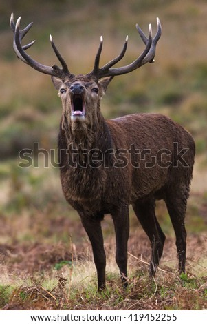 Bellowing deer