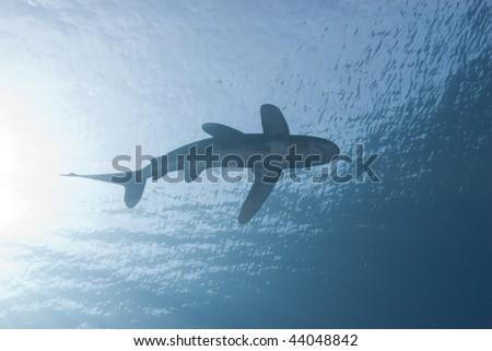 Below view of a juvenile female Oceanic whitetip shark (carcharhinus longimanus) swimming close to surface, endangered. Sharm El Sheikh, Red Sea, Egypt. - stock photo