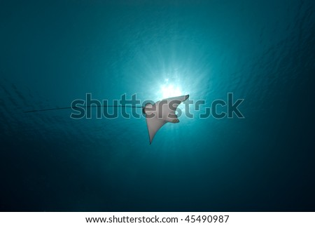 Below view of a Spotted eagle ray (Aetobatis narinari) and sun. Red Sea, Egypt. - stock photo