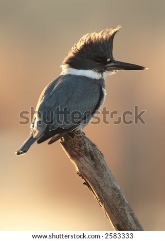 Belted Kingfisher male - stock photo
