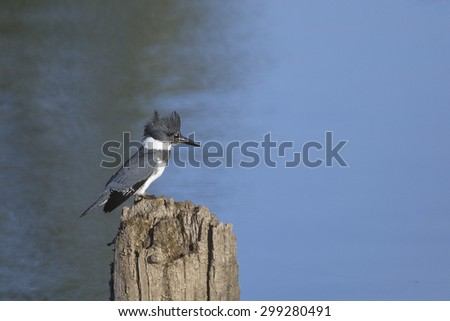 Belted Kingfisher (Megaceryle alcyon).  Belted Kingfishers are stocky, large-headed conspicuous water kingfisher birds.