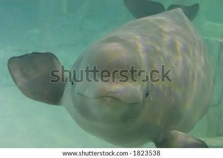beluga - stock photo