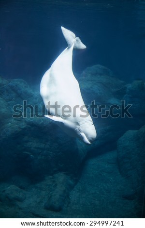 Beluga whale diving in dark blue water