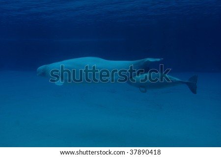 beluga whale mother with young calf - stock photo