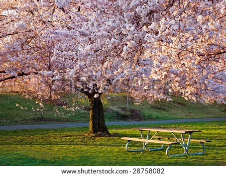 Bench Under Cherry Blossoms - stock photo