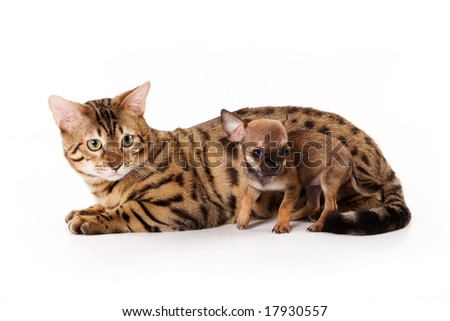 Bengal cat and chihuahua puppy - stock photo