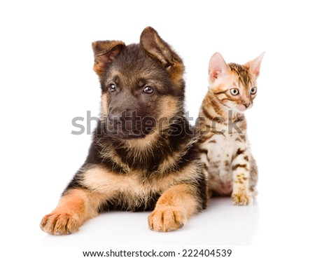 bengal cat and german shepherd puppy dog looking at camera. isolated on white background - stock photo