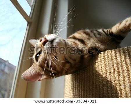 Bengal cat: Bengal cat head bathing in the sun closeup