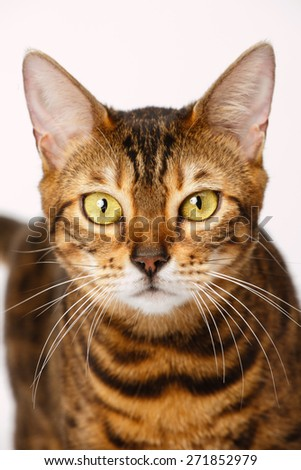 Bengal Cat Close-up portrait - stock photo