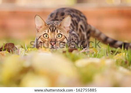 Bengal cat is walking across the lawn - stock photo