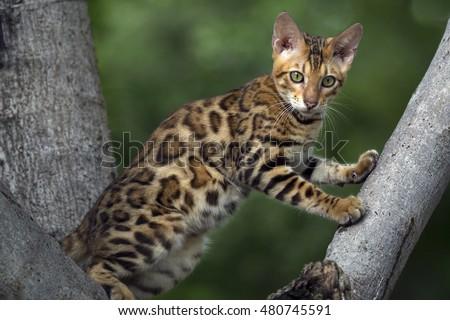 asian leopard house cat $25000