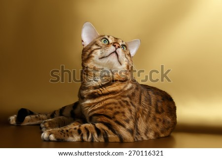 Bengal Cat lies on Gold background and looking up - stock photo