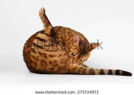 Bengal Cat lies on White background and licked himself ass - stock photo