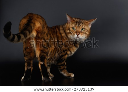 Bengal Cat looking back on his tail on Black Background - stock photo