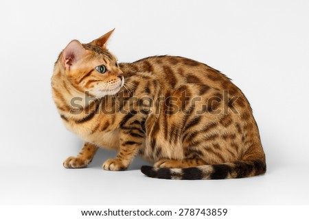 Bengal Cat Looking Back on White on White Background