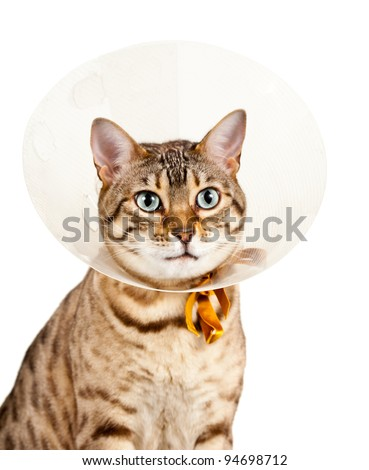 Bengal cat looking sad in neck collar to stop it licking a wound - stock photo
