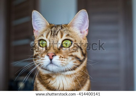 Bengal cat looking without any emotions. Pissed cat. - stock photo