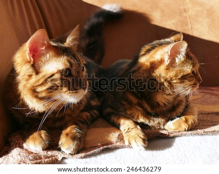 Bengal cat: Marble bengal cashmere cat and marble bengal cat taken at home sitting next to each other in the sun - stock photo