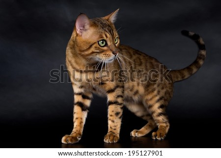 Bengal cat on a black background, green eyes. - stock photo