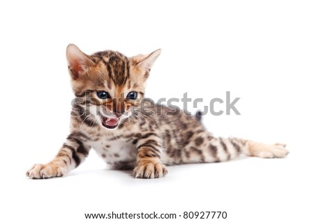Bengal cat on white background - stock photo