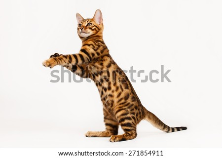 Bengal Cat playing