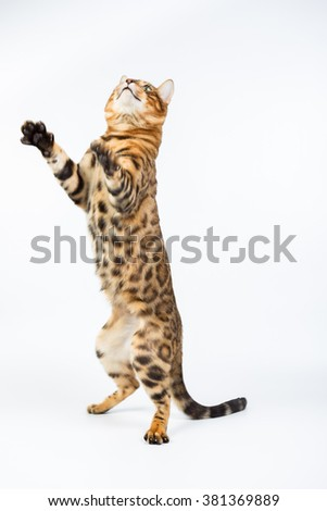 Bengal cat playing isolated