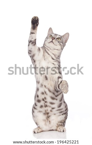 Bengal cat reaches out with its paw isolated - stock photo