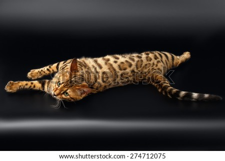 Bengal Cat Rest Lying on Black Background  - stock photo