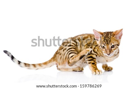 bengal cat  scratching isolated on white background - stock photo