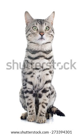 bengal cat silver in front of white background - stock photo