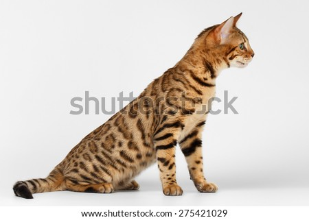 Bengal Cat Sits and Raising up on White background