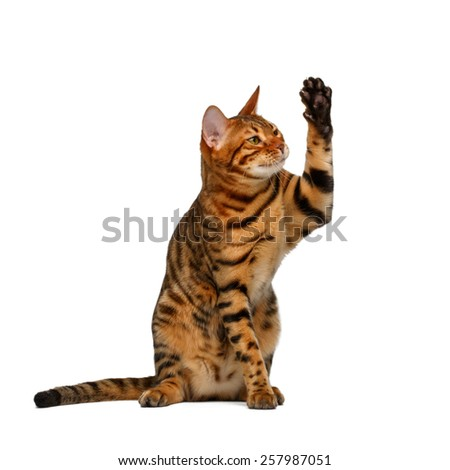 bengal cat sits and raising up paw like a high five on white background