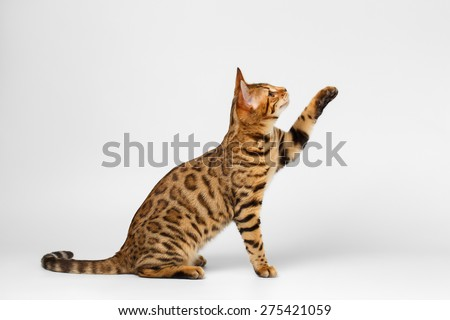 Bengal Cat Sits and Raising up Paw on White background  - stock photo