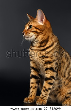 Bengal Cat Sits Looking on Black background  - stock photo