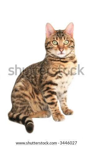 Bengal cat sitting isolated on white