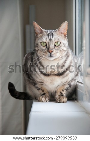 Bengal cat sitting on the window-sill during the rain