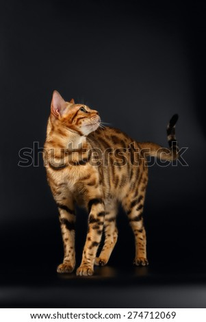 Bengal Cat Stads and Curious Looking Back on Black background  - stock photo
