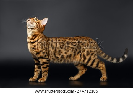 Bengal Cat Stads and Looking up on Black background  - stock photo