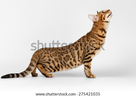 Bengal Cat stads and Raising up on White background  - stock photo