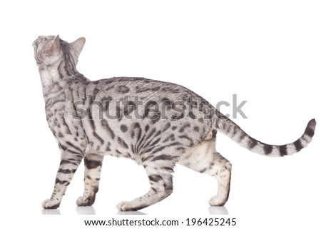 Bengal cat standing sideways isolated