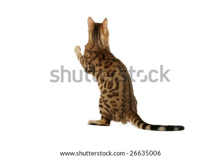 Bengal cat standing with back towards camera on white background