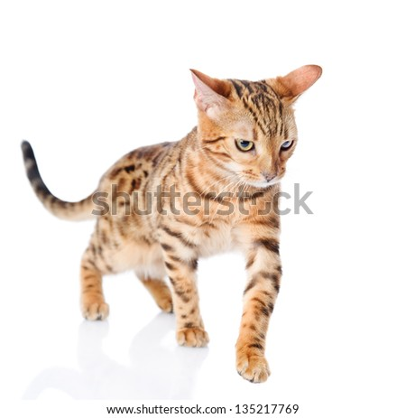Bengal  cat walking. isolated on white background