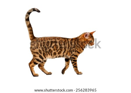bengal cat walking on white, side view - stock photo