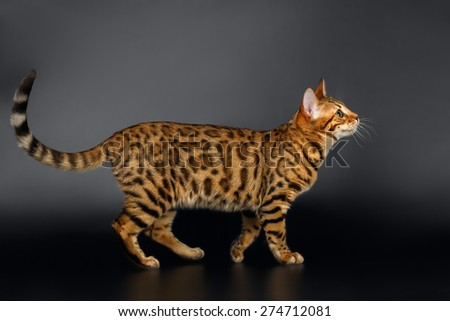 Bengal Cat Walks and Looking up on Black background  - stock photo