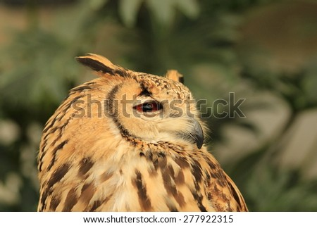 Bengal Eagle Owl - stock photo